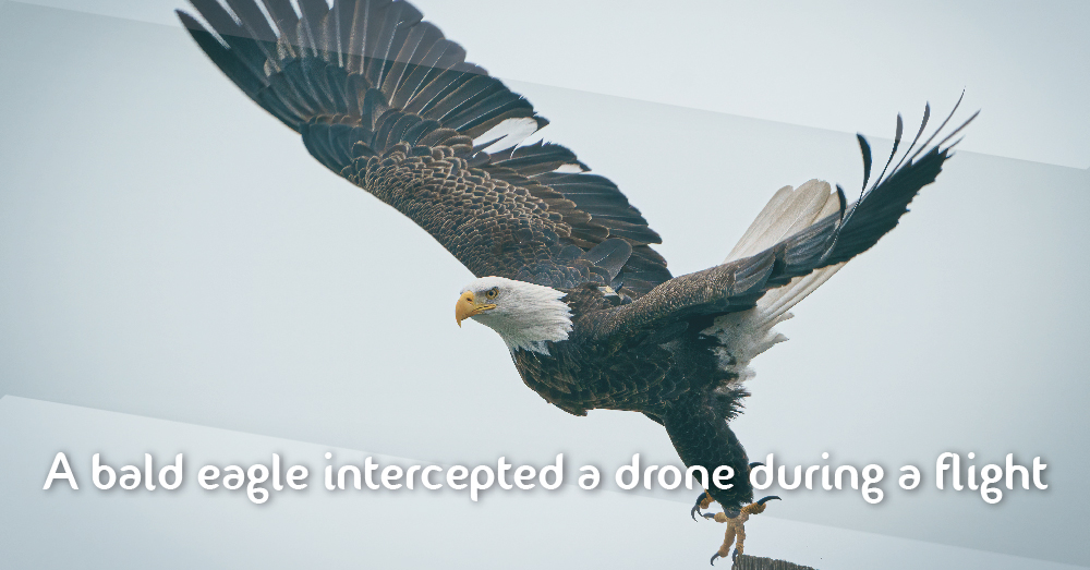 A bald eagle intercepted a drone during a flight